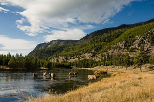 Yellowstone River with Elk 2