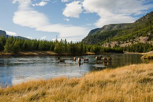 Yellowstone River & Elk