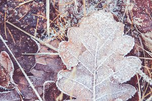 Frost on leaves