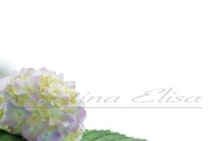 Styled Stock Photography Hydrangea