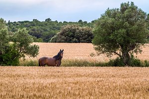 A horse grazing beside a wheat field