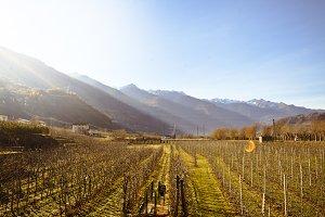 Vineyard at Sunny Day