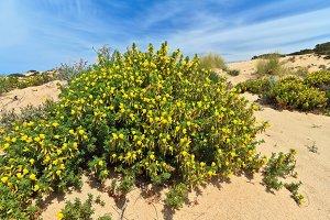Sardinia - flowered dune