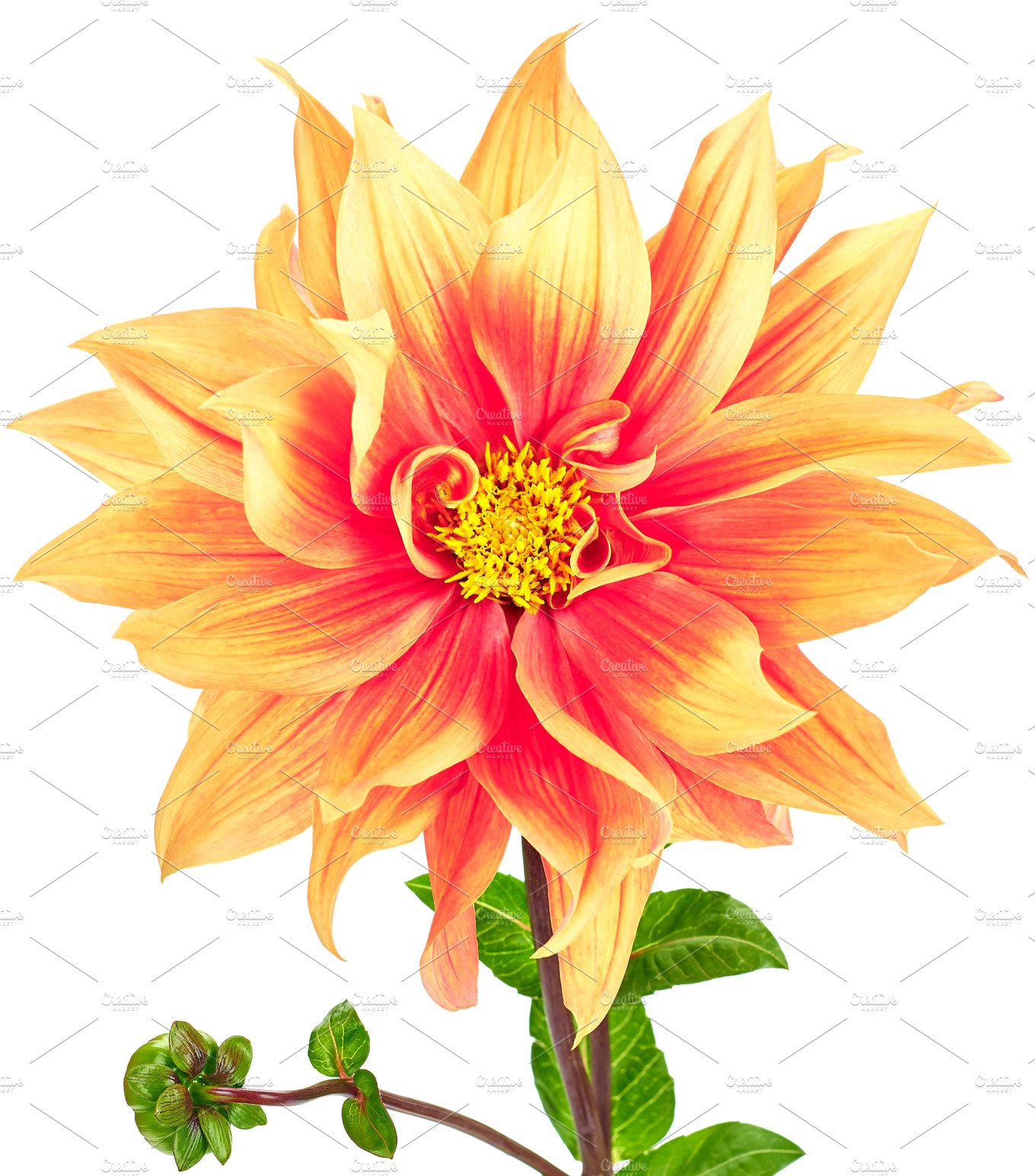Dahlia Pink Yellow Colored Flower And Green Stem Nature Photos