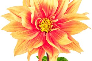 Dahlia, pink, yellow colored flower and green stem