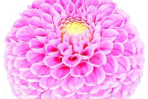 Dahlia pink, colored flower. Macro, isolated