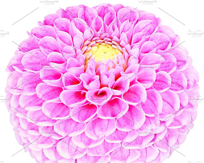 Dahlia pink, colored flower. Macro, isolated - Nature