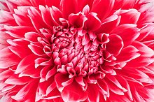 Dahlia flower, red, white colored.Macro background