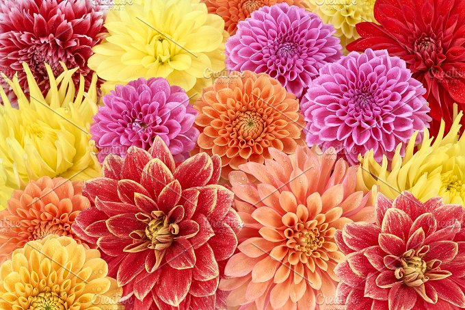 Dahlias, different type.Colorful floral background - Nature