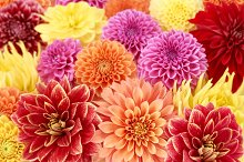 Dahlias, different type.Colorful floral background