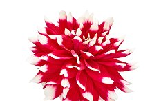 Dahlia red, white colored flower with green leaf