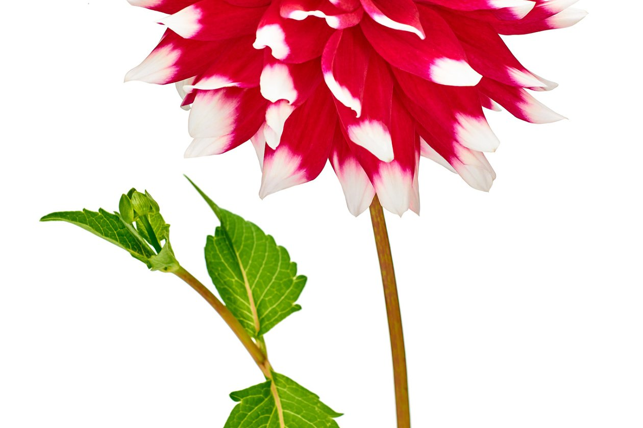Dahlia Pink Yellow Colored Flower And Green Leaf Nature Photos