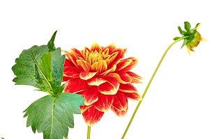 Dahlia orange, yellow colored flower, green stem