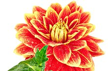 Dahlia, orange, yellow colored flower with leaves