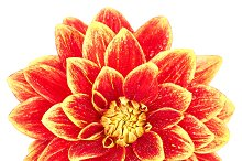 Dahlia flower orange, yellow colored, isolated