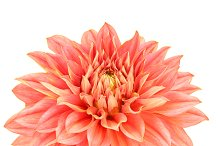 Dahlia pink, yellow colored flower with green stem