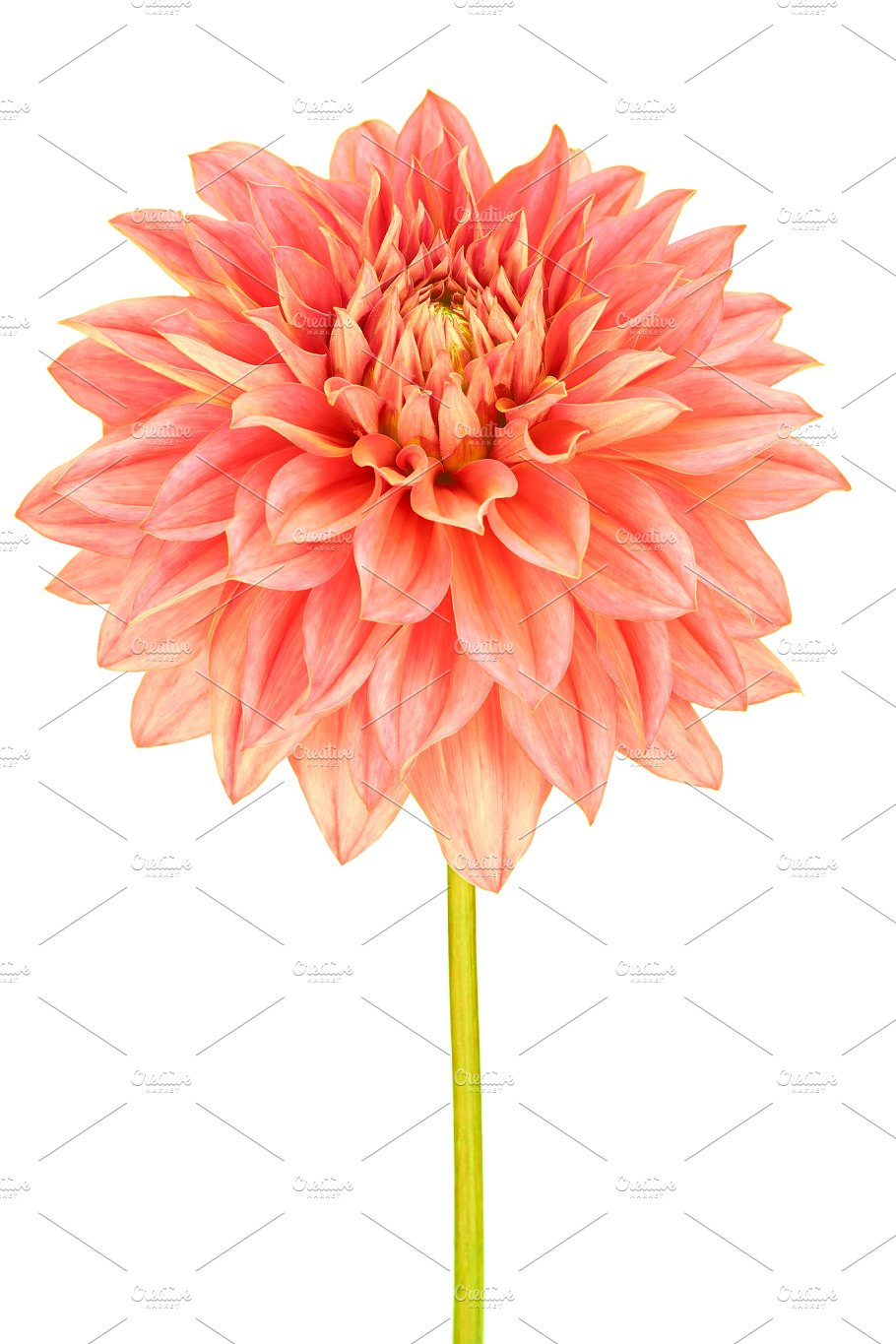 Dahlia pink yellow colored flower with green stem nature photos dahlia pink yellow colored flower with green stem nature mightylinksfo