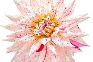 Dahlia flower white, pink colored, Studio shooting