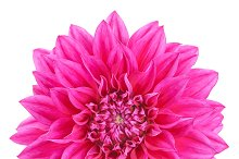 Dahlia pink, purple colored flower, isolated