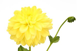 Dahlia yellow colored flower head with green stem