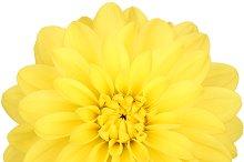 Dahlia flower yellow colored, Studio shooting
