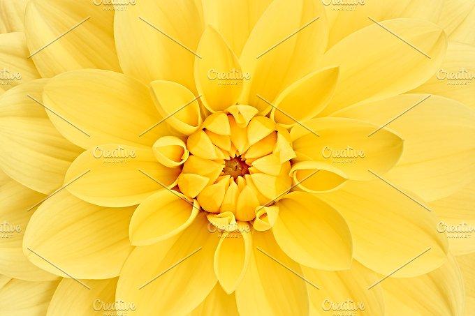 Dahlia flower, yellow colored. Macro, background - Nature