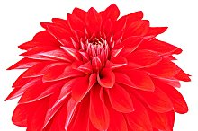 Dahlia red colored flower. Macro, isolated