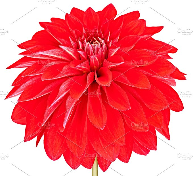 Dahlia red colored flower. Macro, isolated - Nature