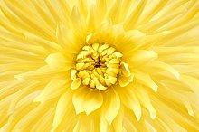 Dahlia flower, yellow colored. Macro, background