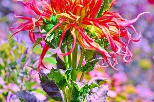 Dahlias, orange yellow colored, meadow flowers