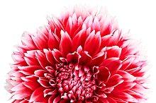 Dahlia flower red, white colored, Studio shooting