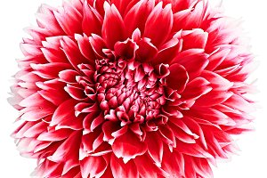 Dahlia flower red, white colored, Studio shooting