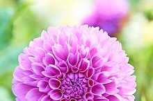 Dahlias with stem, purple colored, meadow flowers