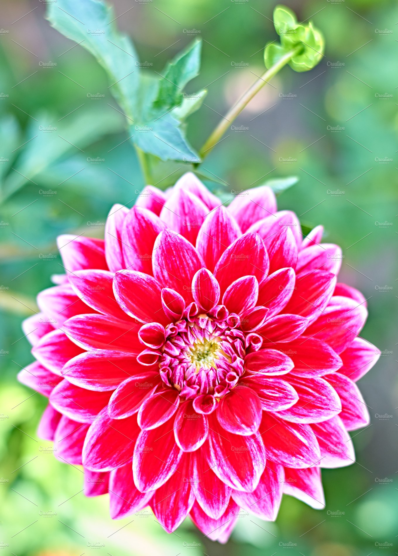 Dahlias with stem pink colored meadow flowers nature photos dahlias with stem pink colored meadow flowers nature photos creative market mightylinksfo
