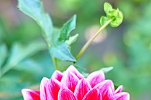 Dahlias with stem, pink colored. Meadow flowers