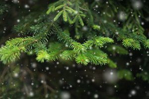 Fir branch and snow.