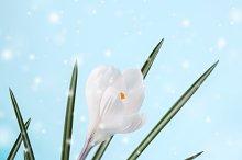 spring crocus flower in snow