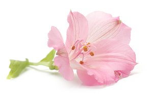 pink lily flower isolated on white