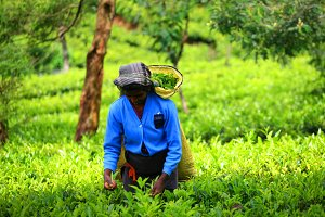 Woman picker in tea plantation