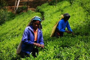 Women pickers in tea plantation