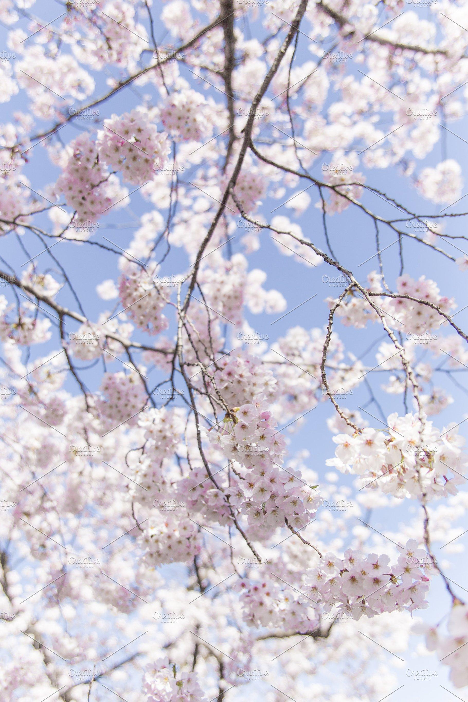 Sakura Japanese Cherry Blossom High Quality Nature Stock Photos