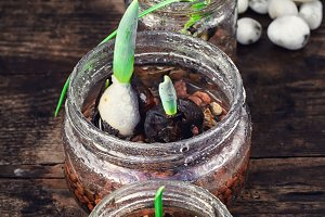 Spring sprouts in jars