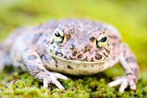 Toad frog on grass with big eyes