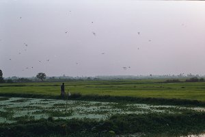 Rice fields. Cambodia.