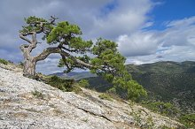 Relict pine on a mountainside.