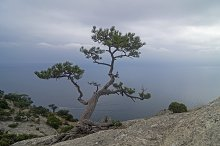 Relic pine in the rocks above sea