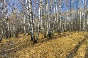 Birch Grove in the late autumn.