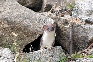 ermine in wildlife