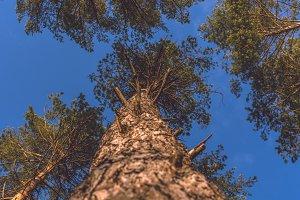 Pine to the sky