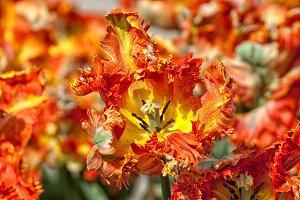 Close up of orange tulip